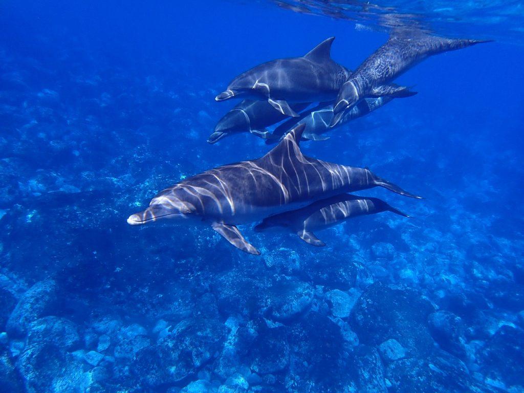 Delfiinit auttavat haavoittunutta.