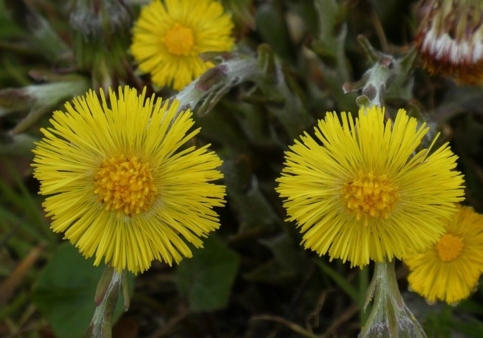coltsfoot-4941058_1280